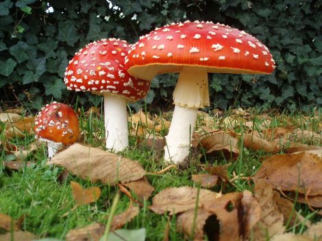 Amanita Muscaria: Gnomes not included