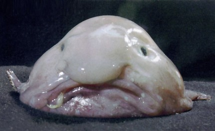 http://weirdimals.files.wordpress.com/2009/07/blobfish.jpg