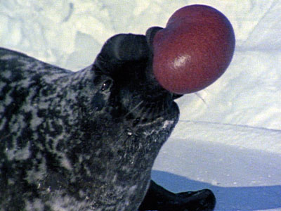 my first impression... a sea lion and a red ball