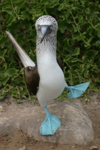 blue-footed-booby2