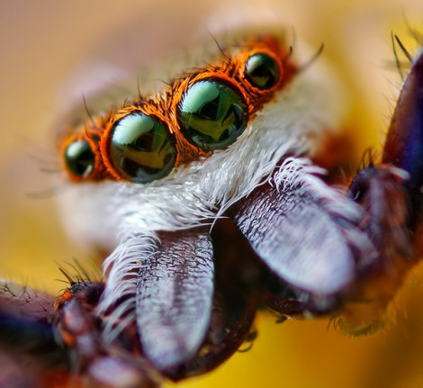jumpingspider