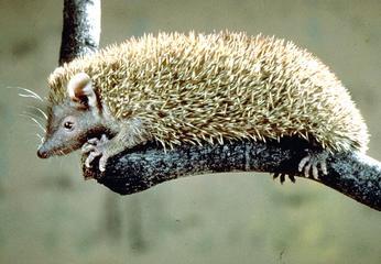 tenrechedgehog