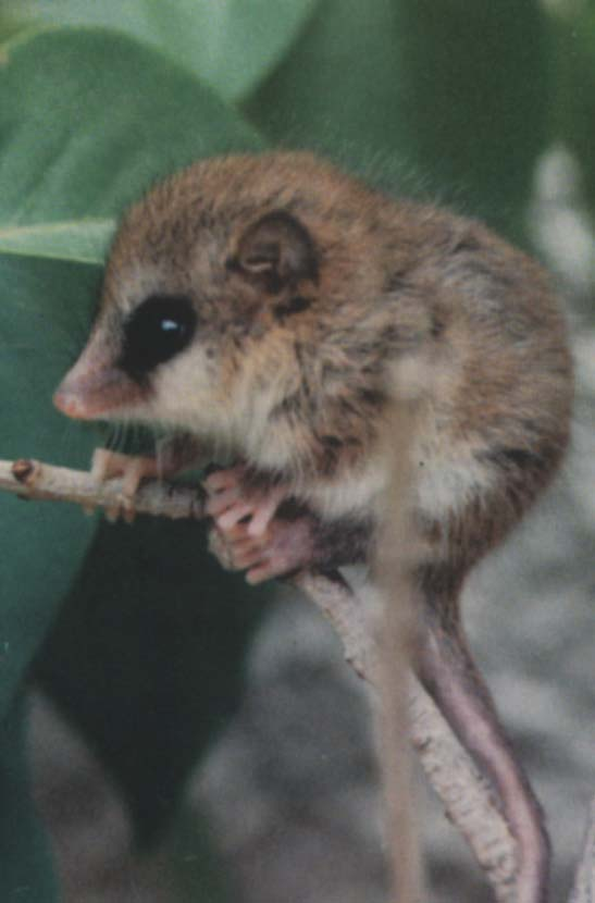 Biggest Animal On Earth >> Monito Del Monte | The Ever so Strange Animal Almanac