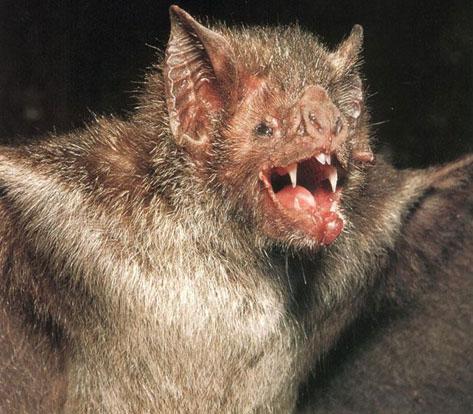 Vampire bat the ever so strange animal almanac for Fish sucking penis